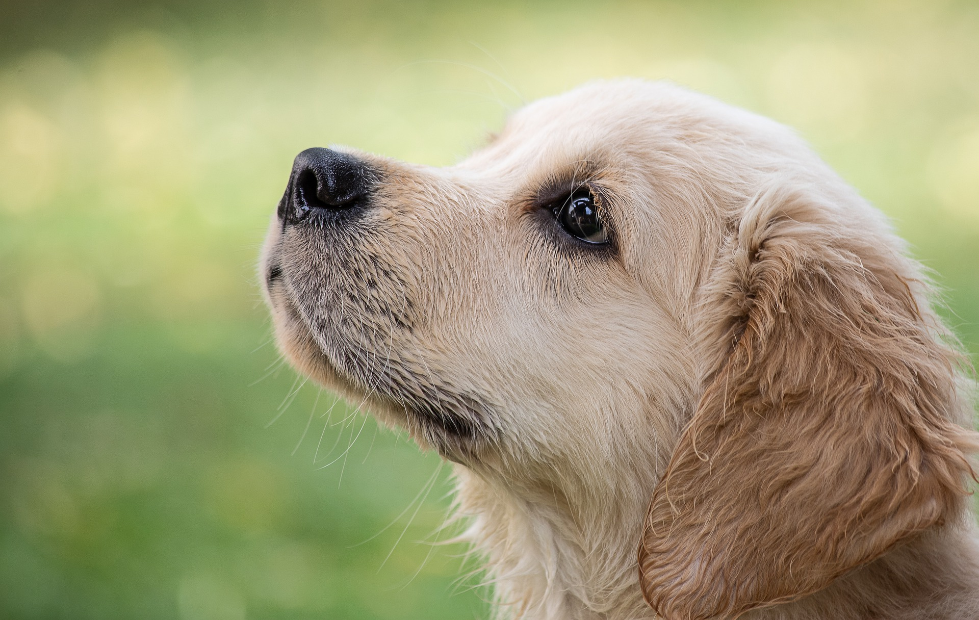 Golden Retriever: Is it right for your family?