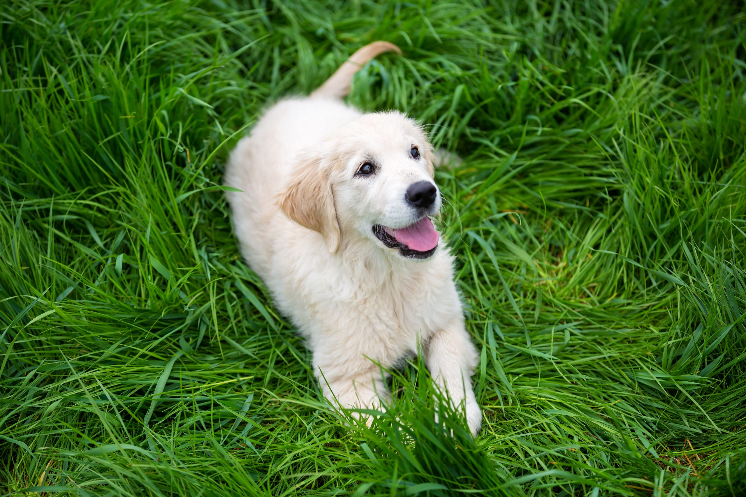Training Your Golden Retriever – Tips You Should Know